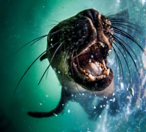 A seal tries to playfully bite the camera, as it swims in Plettenberg Bay, South Africa