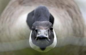 Stuttgart, GermanyA Canada goose walks across a meadow in a cordoned-off area in Hoehenpark Killesberg in Stuttgart.