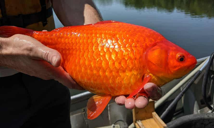 As many as 200m goldfish are bred for the pet trade every year; too many of them end up dumped in lakes where they can grow to more than 1ft.
