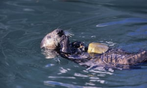 A sea otter uses a rock to open a clam in Monterey Bay, California, US