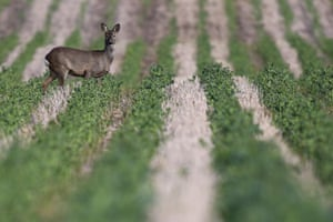 Wild roe deer in a farmer's ploughed, furrowed field in Auchmithie, Scotland