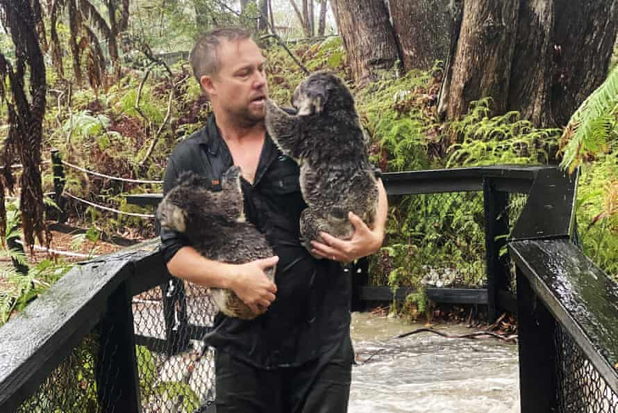 Australian Reptile Park staff member carrying koalas during a flash flood at the Australian Reptile Park in Somersby north of Sydney