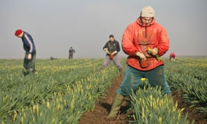 Migrant workers picking daffodils in the fields of the Linconshire Fens. The lion's share of the increase comprises people from western European countries such as France, Italy and Spain.