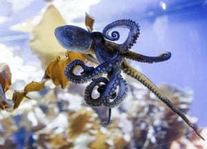 More like us than our hubris allows … an octopus in an aquarium in Timmendorfer Strand, Germany.