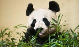 Tian Tian at Edinburgh zoo.