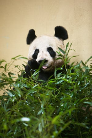 Edinburgh zoo's female giant panda, Tian Tian