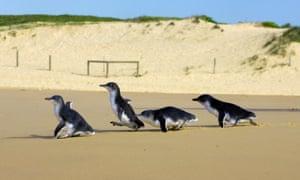 Blue penguins at North Curl Curl beach in Sydney, Australia.