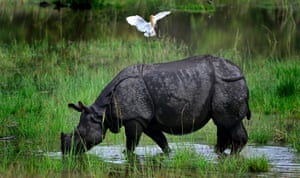 A one horned Rhino grazes in flood water inside the Pobitora wildlife sanctuary in the Morigaon district of Assam state, India