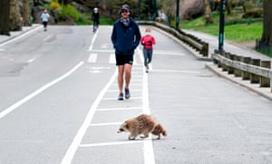 A racoon walks over the running path in almost deserted Central Park in Manhattan, 16 April 2020.