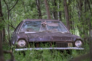 A raccoon pokes her bandit-masked face out of a 1970s Ford Pinto on a deserted farm in Saskatchewan