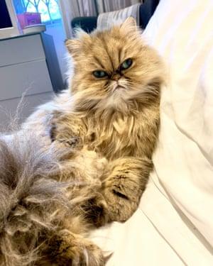 Persian chinchilla cat Vaishti.