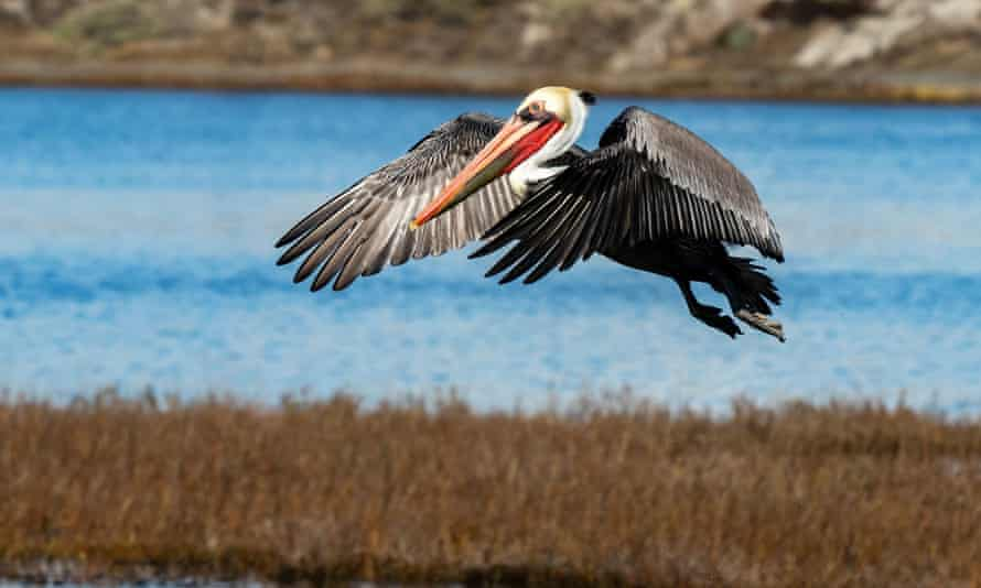 A brown pelican flies at Bolsa Chica Ecological Reserve in Huntington Beach, California.
