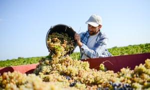 Farmer in the vine, harvesting grapes during wine harvest season in vineyard