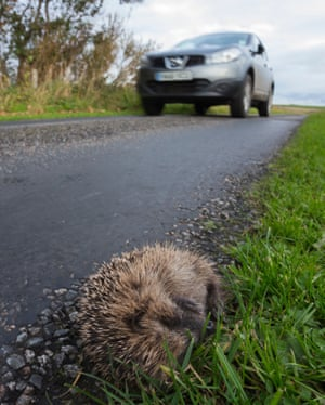 Hedgehogs are declining more slowly in car-filled towns than in the countryside.