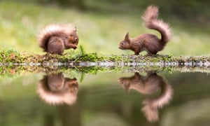 Two red squirrels facing each other at the side of a pool and perfectly reflected. One of the squirrels is eating a nut while the other looks on