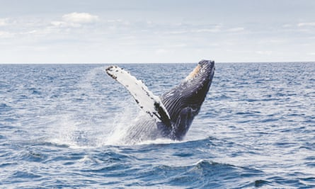 A whale rising to the surface of the ocean.