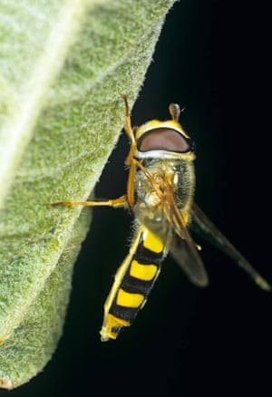 Many hoverfly have black and yellow markings.
