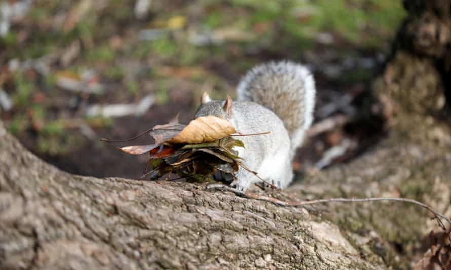 A squirrel carries leaves it collected while climbing a tree at the Boston Public Garden.