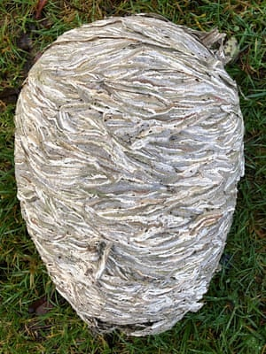 The exterior of a wasps' nest