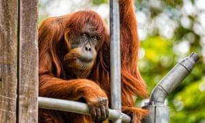 Puan, the 62-year-old Sumatran orangutan who died at Perth Zoo on June 17.