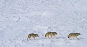 Grey wolves of Michigan