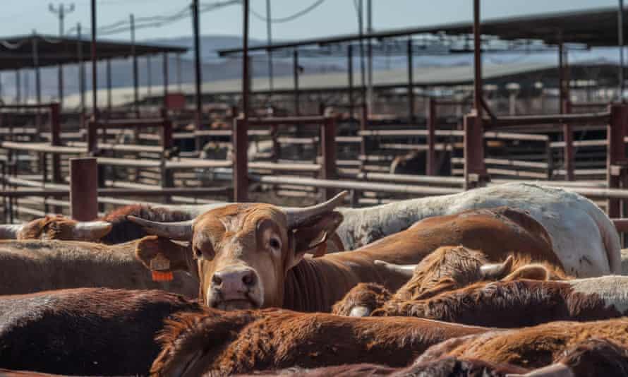 Cattle at a feedlot near Eilat