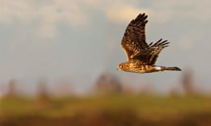 Female northern hen harrier.
