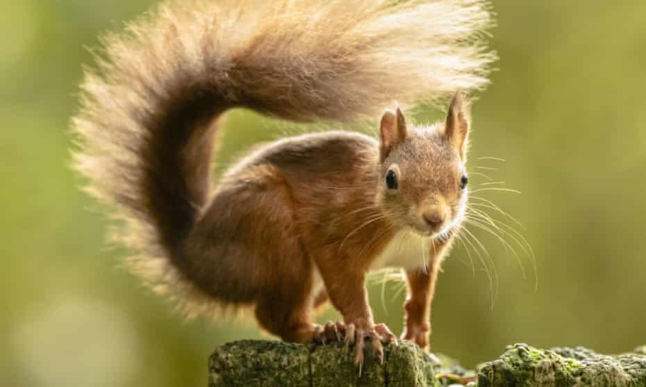 The red squirrel can survive in non-native plantations that are inhospitable for the grey.