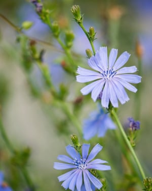 Blue chicory is emblematic of French farmland