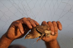 A Palestinian man in Khan Younis, Gaza Strip takes a quail out of a net after catching it