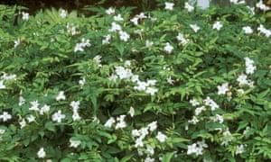 Reliably hardy: Jasminum officinale (common white jasmine).