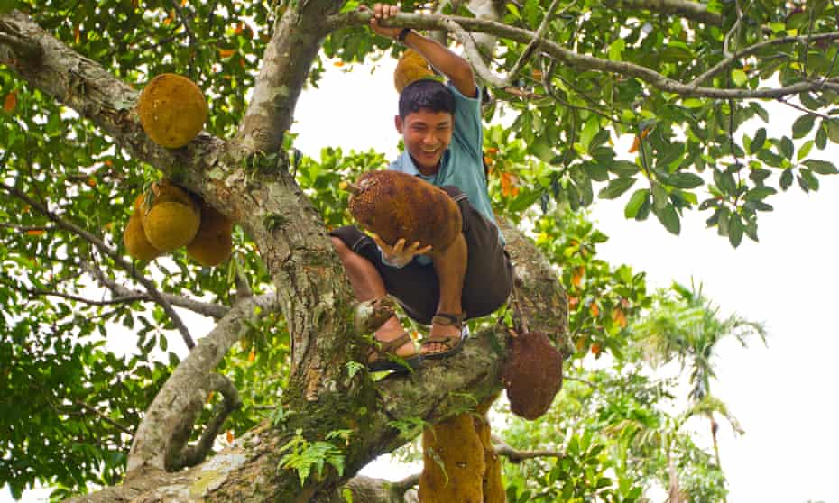 An Indian man harvesting jackfruit from the tree.