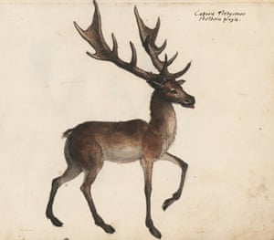 According to Platter's handwritten caption next to this elegant deer, it was painted by the famous Hans Holbein the Younger (c. 1497–1543)