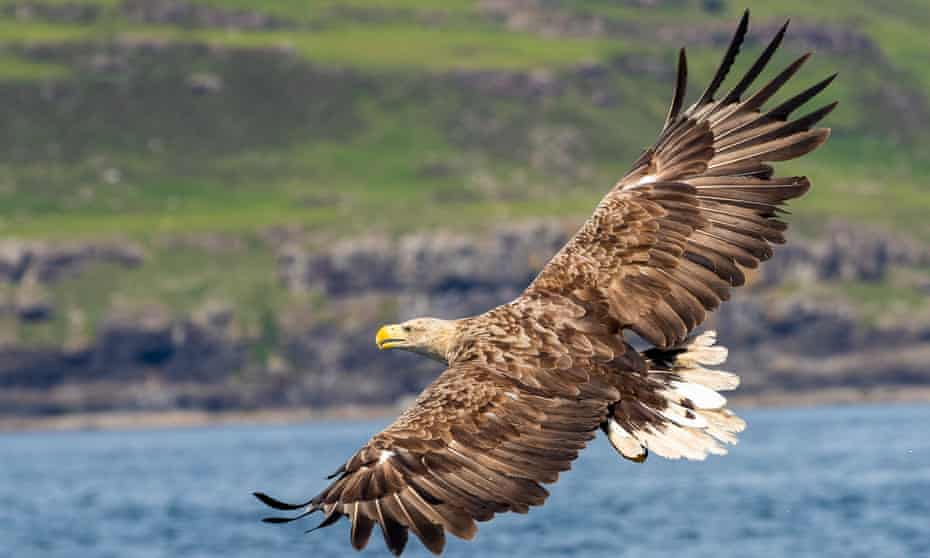 A white-tailed eagle off Mull.