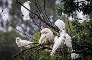 Cockatoos rest in a tree as rain continues to fall in the western Sydney suburb of Windsor, Australia