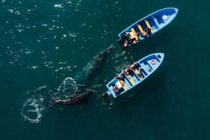 Grey whales swim near whale-watching boats
