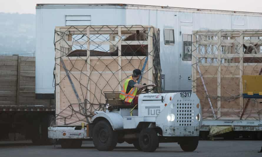 Horses in crates being prepared for shipment.