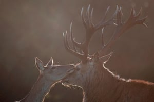 A red deer stag and hind caress in Richmond park at sunrise in south-west London