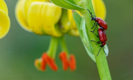 A pair of red lily beetles.