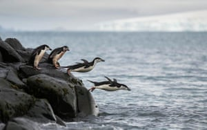Chinstrap penguins diving into the ocean at Snow Island, South Shetlands, Antarctica. Colonies of chinstrap penguins have fallen by more than half across islands in Antarctica.