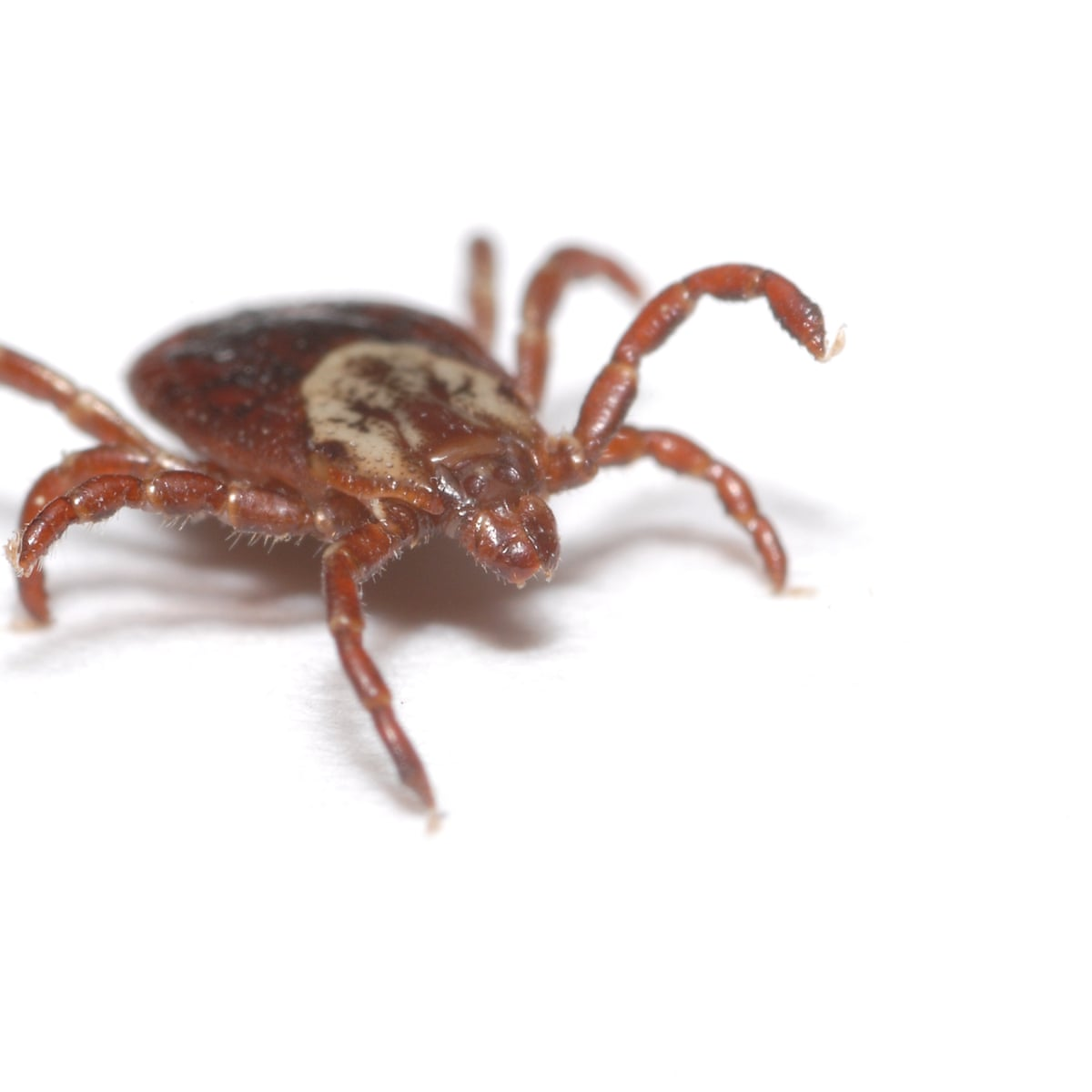 Tick-borne encephalitis found in UK for first time | Society | The Guardian