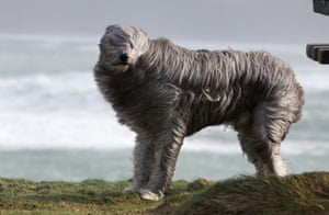 Bruno, a bearded collie cross, takes a walk in the strong winds in Newquay, Cornwall