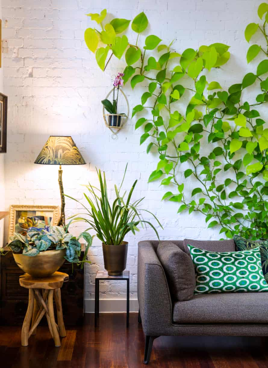 A neon pothos on the wall, a cymbidium orchid in the pot by sofa, a satin pothos in the gold pot.