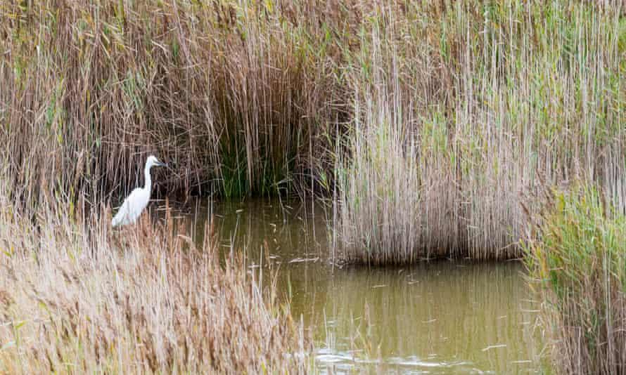 A little egret (Egretta garzetta) beside a brackish pool on the marshes at Holme in North Norfolk.
