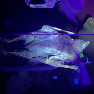 A bat under ultraviolet light.