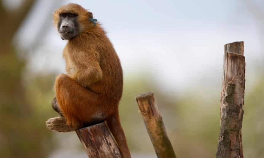 A Guinean baboon at the Paris Zoological Park.