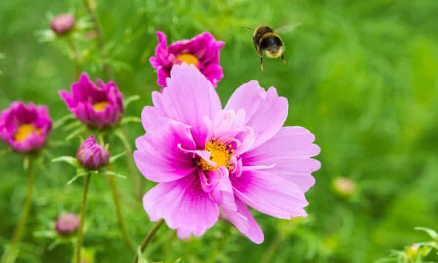 Garden Cosmos with a bumblebee flying from it.
