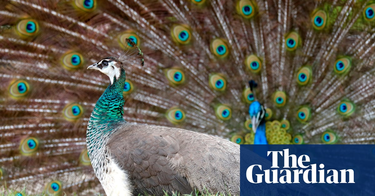 A peacock's tail: how Darwin arrived at his theory of sexual