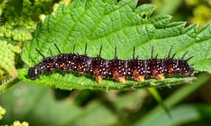 Spiky black peacock caterpillar – to be found on any sizeable nettle patch.
