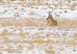 A Tibetan gazelle on the northern Tibetan plateau